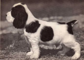 Cockerspanielvalp