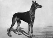 Dobermannpinscher